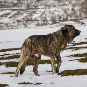 Saint Bernard Vs Spanish Mastiff