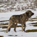 Brindle Spanish Mastiff