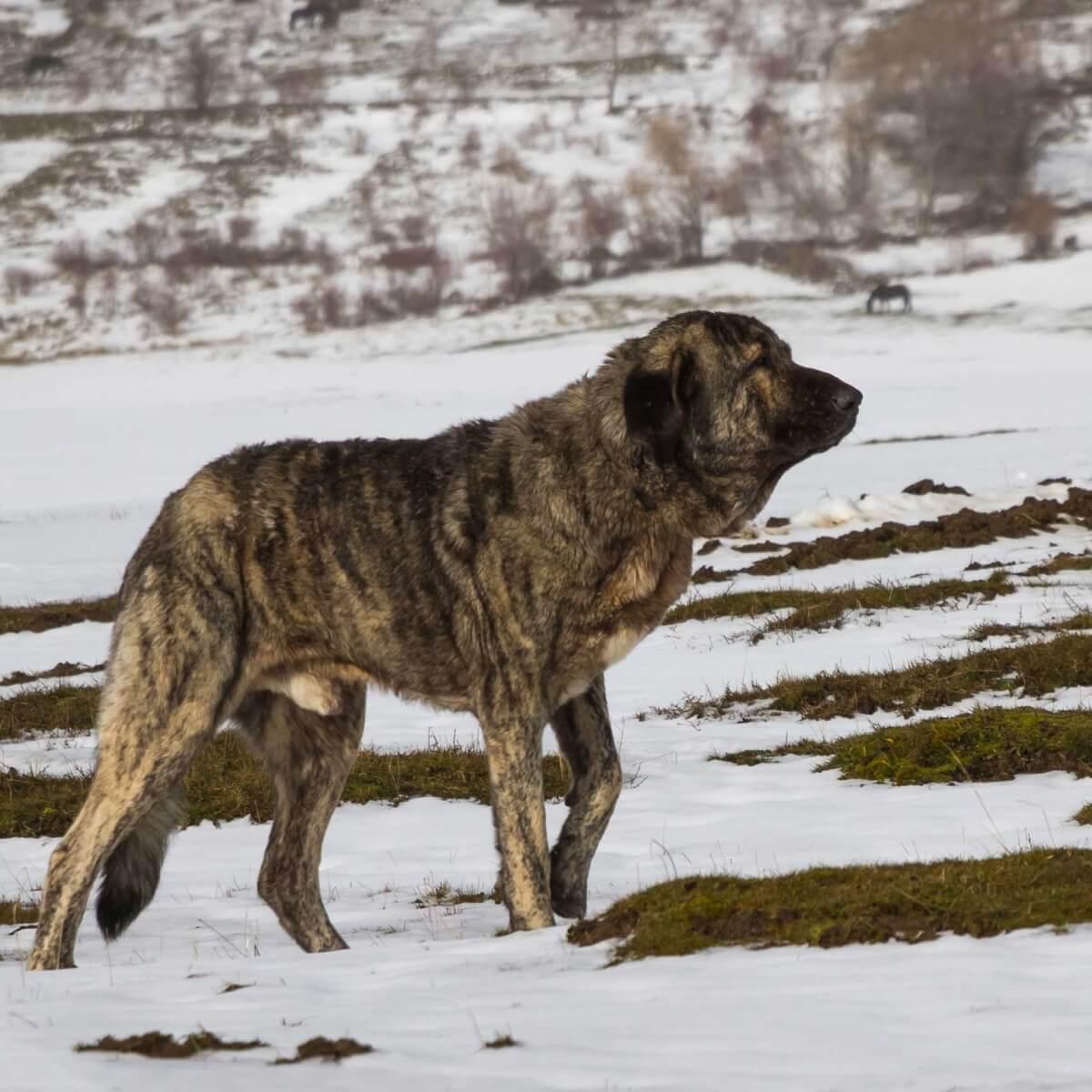 Spanish Mastiff Dog Breed Everything