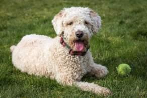 Beige Spanish Water Dog
