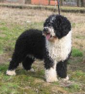 Black & White Spanish Water Dog