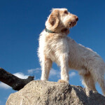 White Spinone Italiano