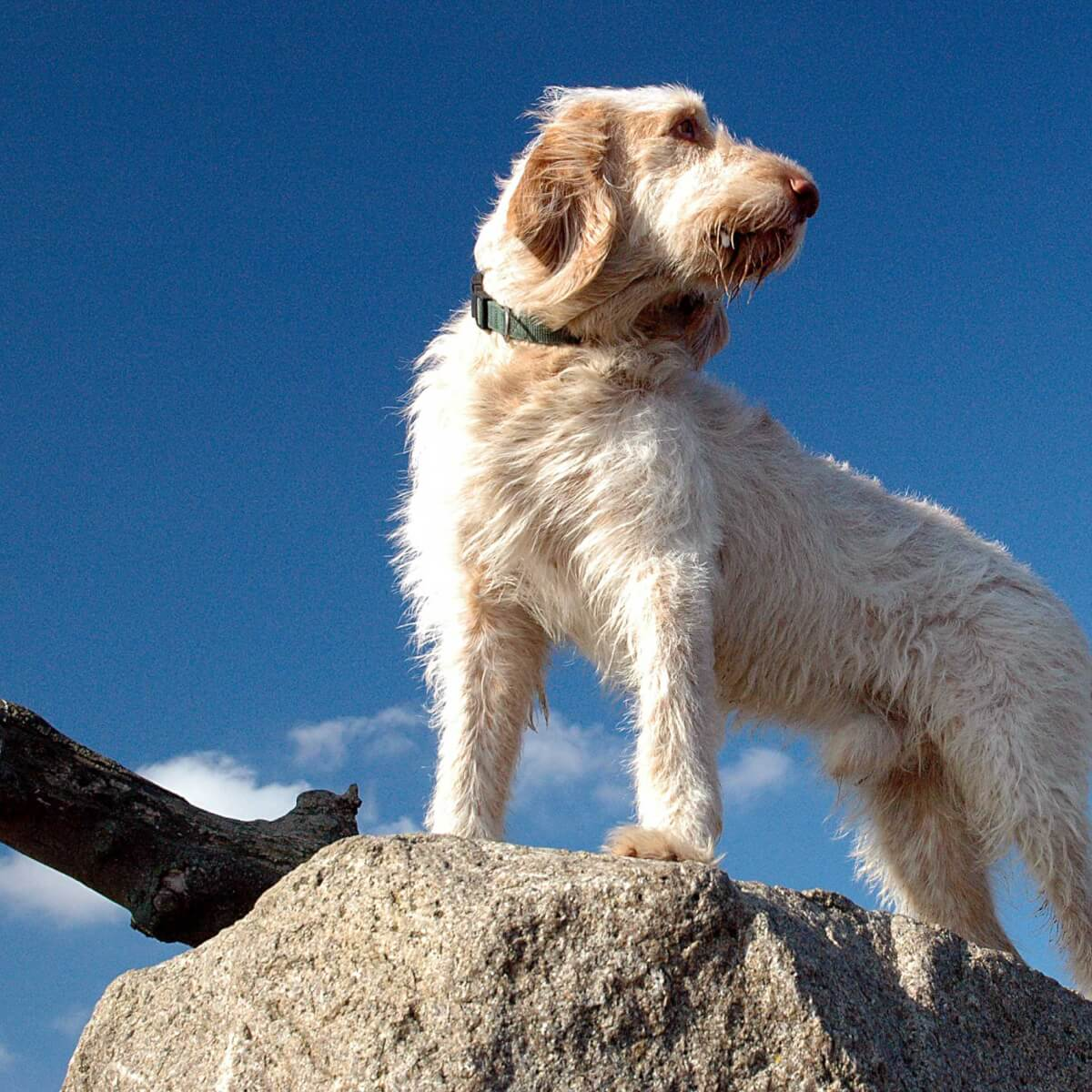 Spinone Italiano Dog Breed » Everything About Spinone Italiano