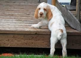 Orange Roan Spinone Italiano Puppy