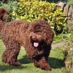 Brown Springerdoodle