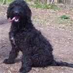 Black Springerdoodle