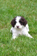 Springerdoodle - English Springer Spaniel Poodle