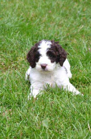 Springerdoodle/Sproodle Dog Breed » Info, Pics, & More