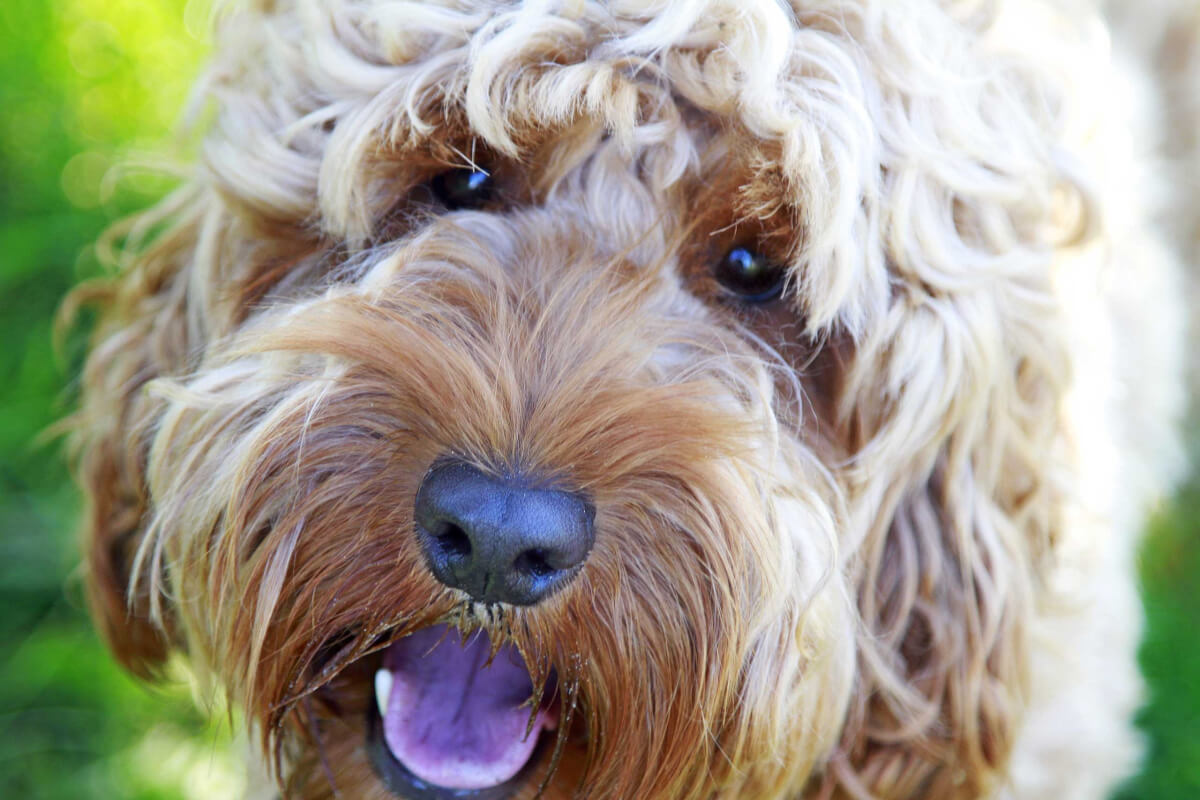 Springerdoodle/Sproodle Dog Breed » Info, Pics, & More