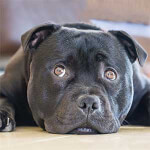 Head-shot of a Black Staffordshire Bull Terrier