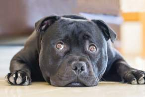 Head-shot of a Black Staffordshire Bull Terrier