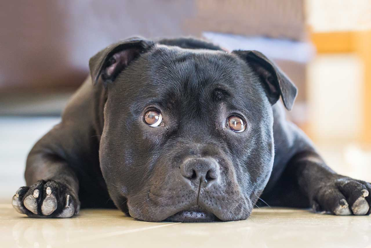 Staffordshire Bull Terrier Dog Breed » Everything About ...