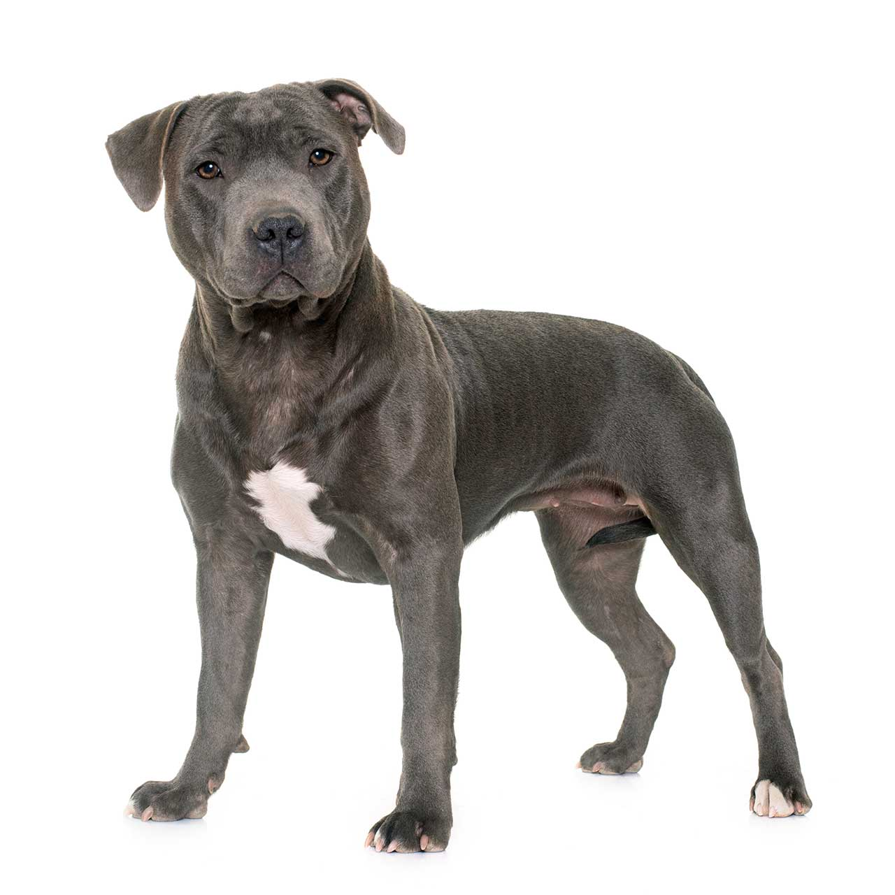 American Staffordshire Terrier vs Staffordshire Bull Terrier