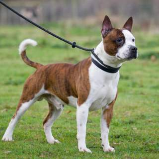 Staffordshire Bull Terrier Dog Breed Everything About Staffies