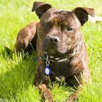 Brindle Staffordshire Bull Terrier