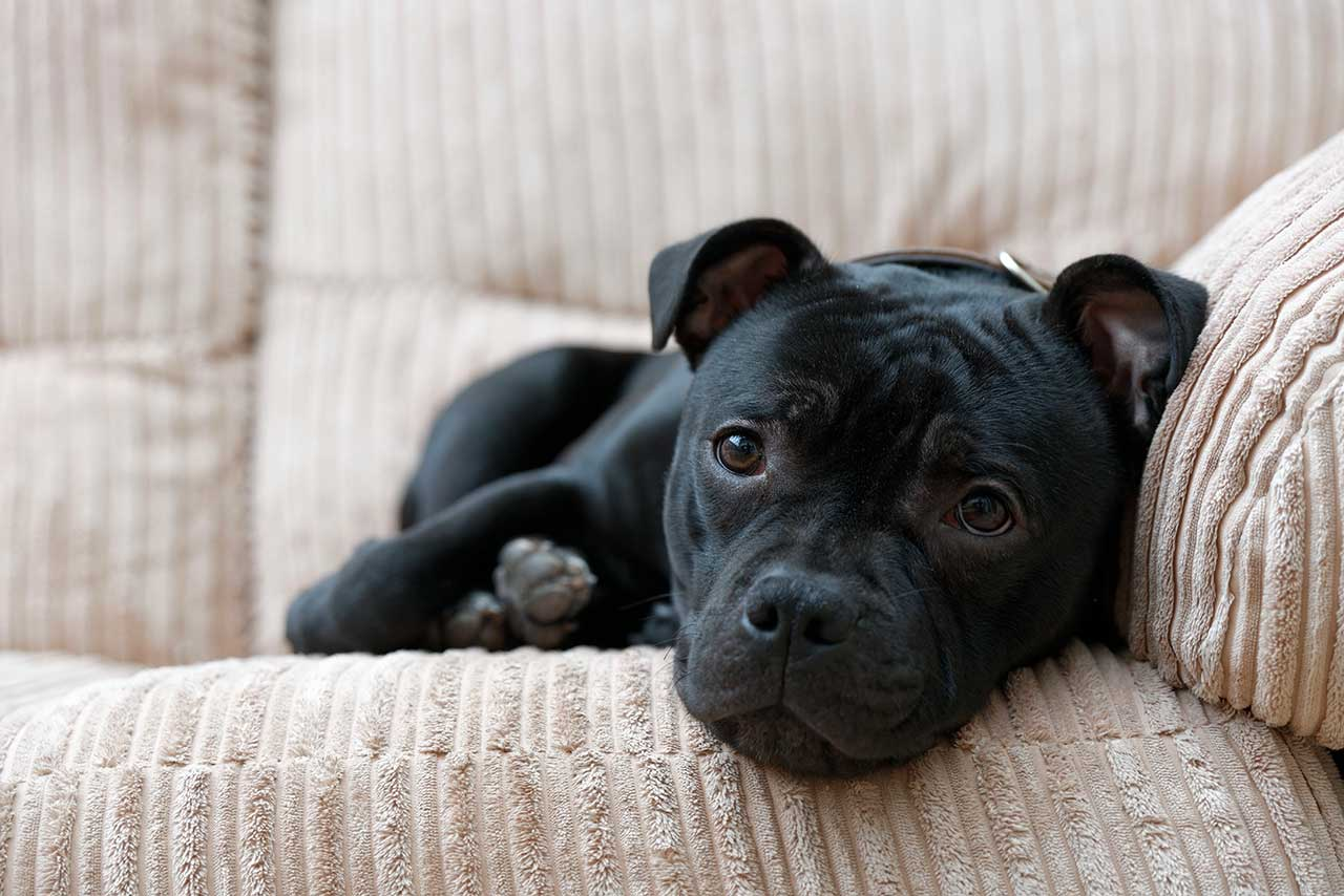 Staffordshire Bull Terrier Dog Breed 187 Everything About
