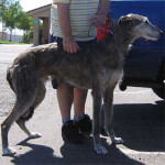 Gray Staghound