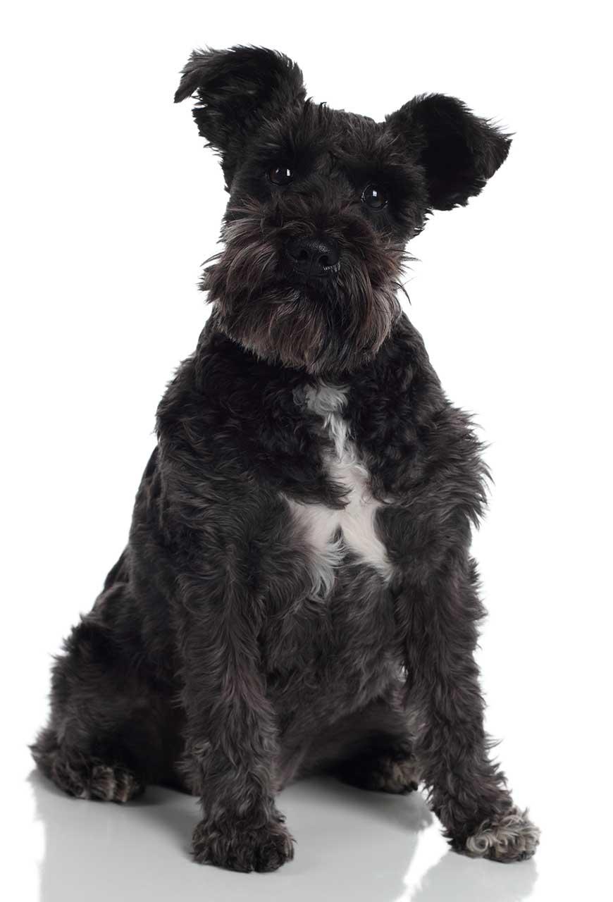 Standard Schnauzer Dog Breed 187 Everything About Standard