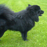 Black Swedish Lapphund in Grass