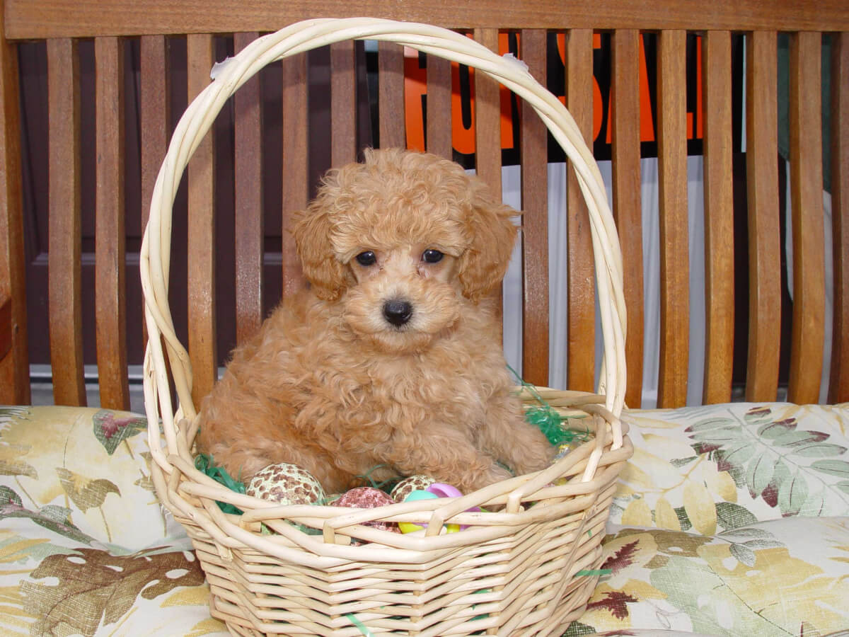 Teacup Poodle Dog Breed » Everything About Teacup Poodles