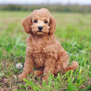 Teacup Poodle Sitting Outside