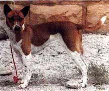 White & Red Telomian Dog