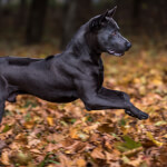 Black Thai Ridgeback Running