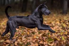 Black Thai Ridgeback Running