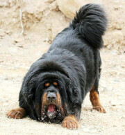 A Cautious Black & Tan Tibetan Mastiff