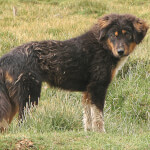 Black & Tan Tibetan Mastiff Puppy