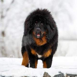 Tibetan Mastiff in the Snow