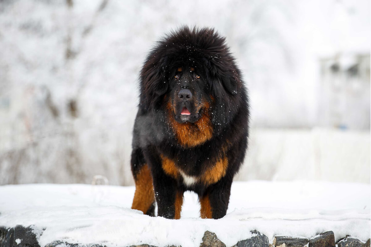 Tibetan Mastiff Dog Breed » Information, Pictures, & More