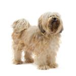 Cream Tibetan Terrier