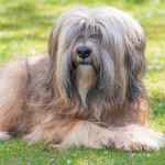 Brown Tibetan Terrier
