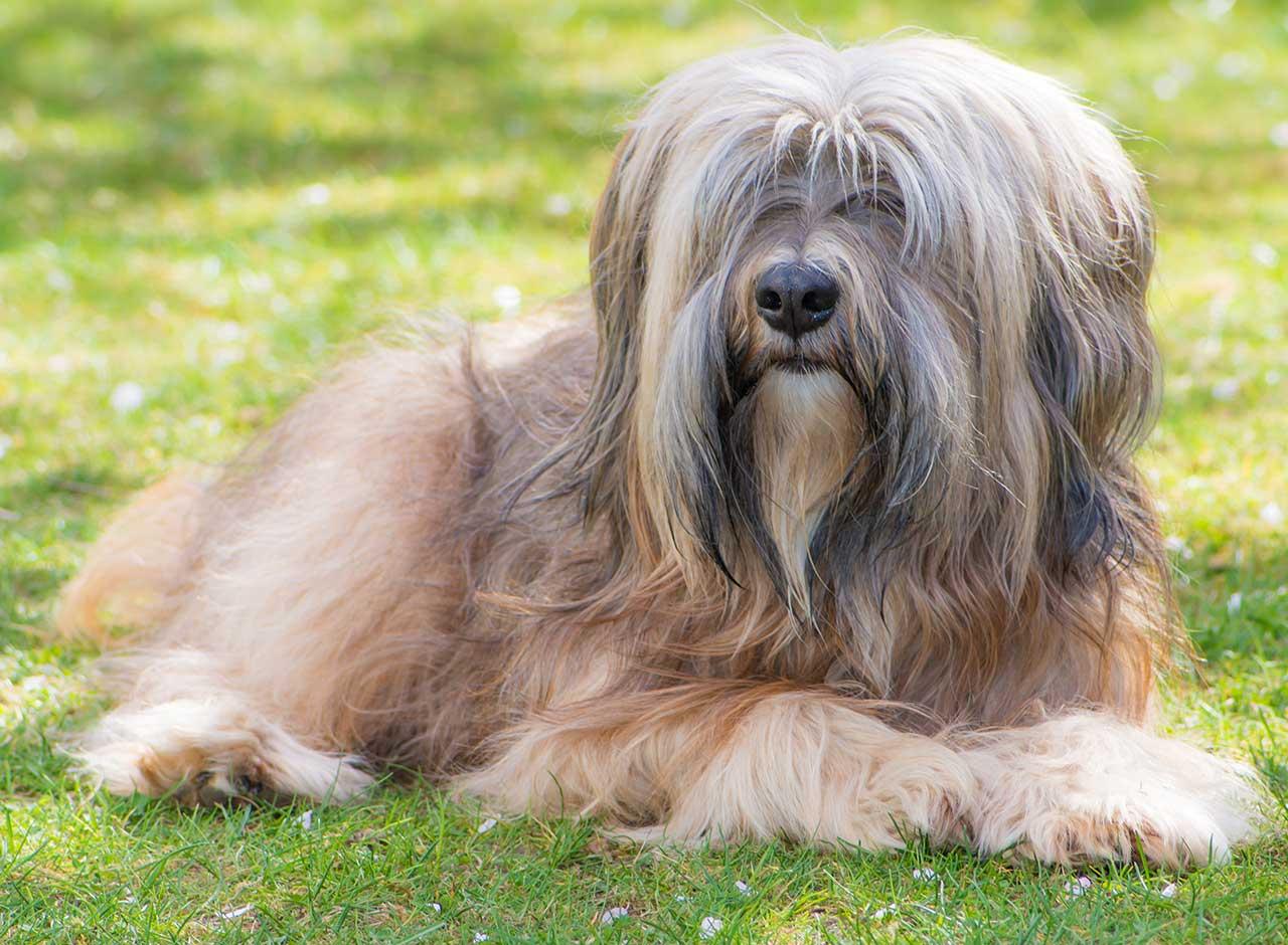 Tibetan Terrier Dog Breed 187 Everything About Tibetan Terrier