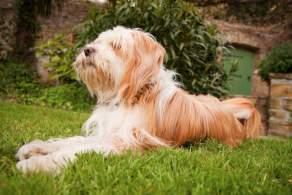 Gold Tibetan Terrier