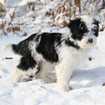 Black & White Tibetan Terrier Puppy in the Snow