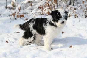 Black & White Tibetan Terrier Puppy in the Snow