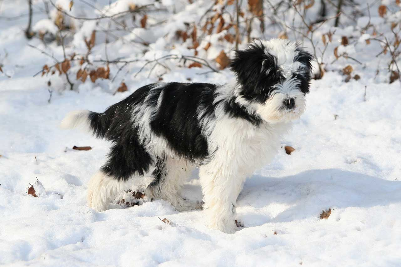 Tibetan Terrier Dog Breed Everything About Tibetan Terrier