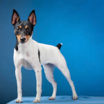 White Black & Tan Toy Fox Terrier