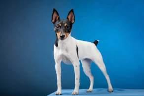 White Black & Tan Toy Fox Terrier