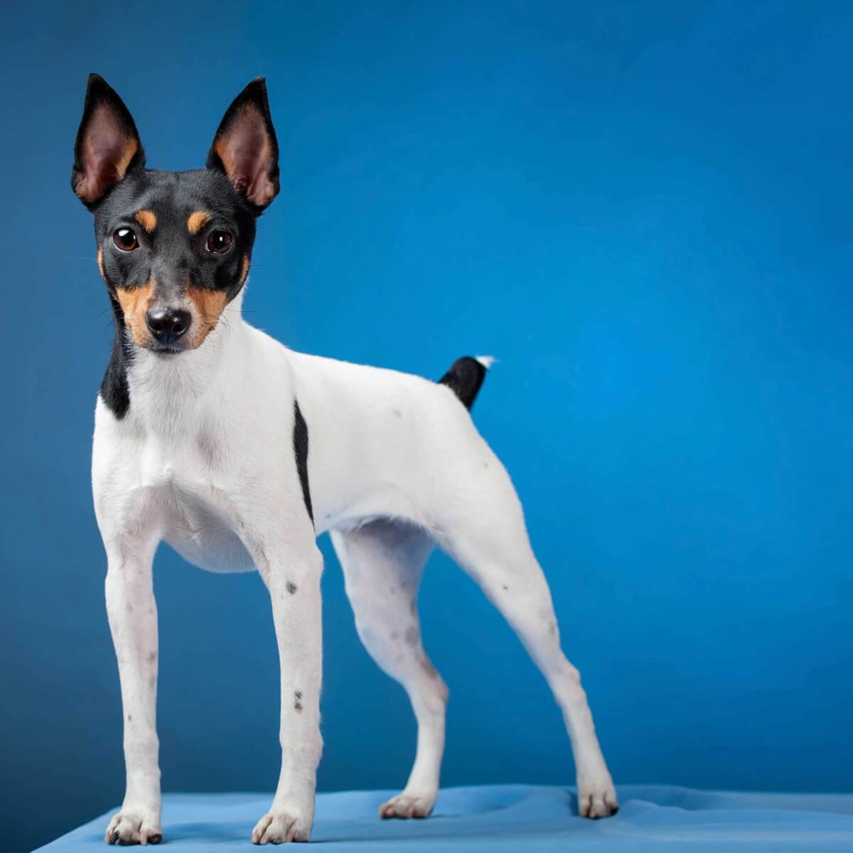 Toy Fox Terrier Dog Breed » Everything About Mini Fox Terriers