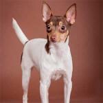 White Chocolate & Tan Toy Fox Terrier