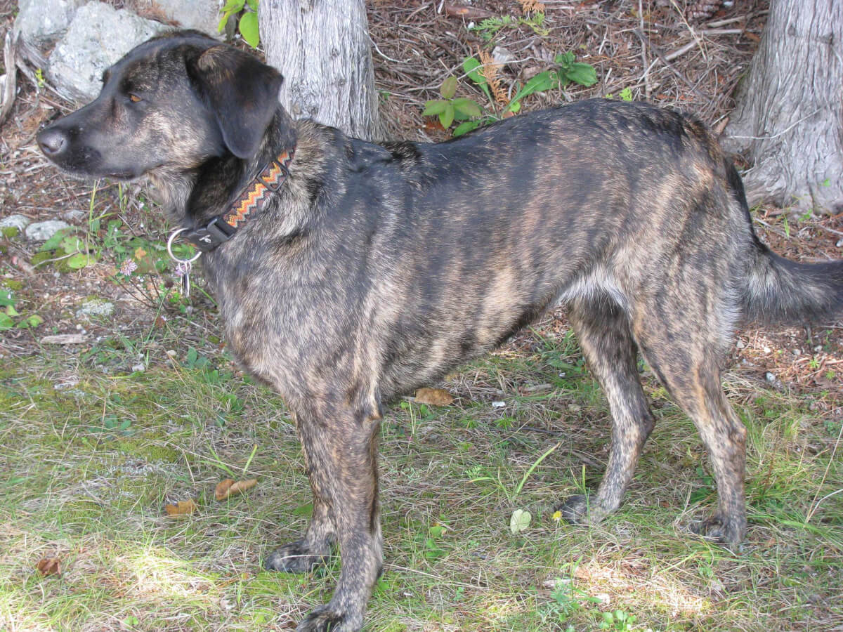 Treeing Tennessee Brindle Dog Breed & Info, Pics, & More