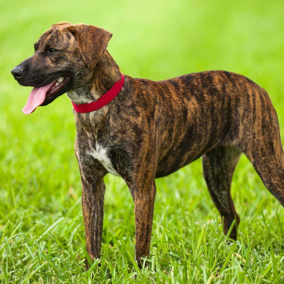 Treeing Tennessee Brindle Dog Breed Info Pics More