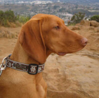 Golden Rust Vizsla