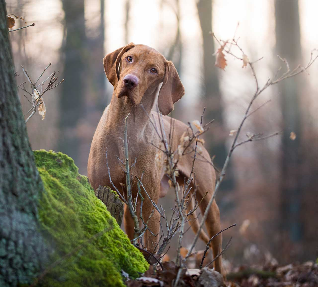 Pictures Of Black Vizsla Dogs