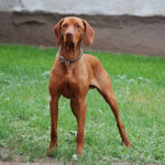 Rust Colored Vizsla