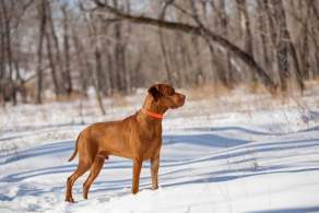 Golden Rust Vizsla in the Snow