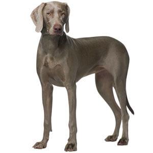 Gray Weimaraner Dog Breed
